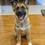 German Sheppard Puppy with Dog Tag (Instagram)