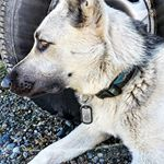 German Shepard Dog with Maltese Cross Dog Tag (Instagram)